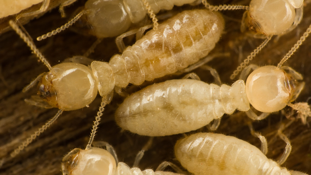 Don't Let Termites Destroy Your Home
